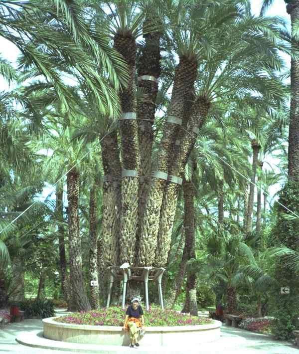 palmier 3 tetes
